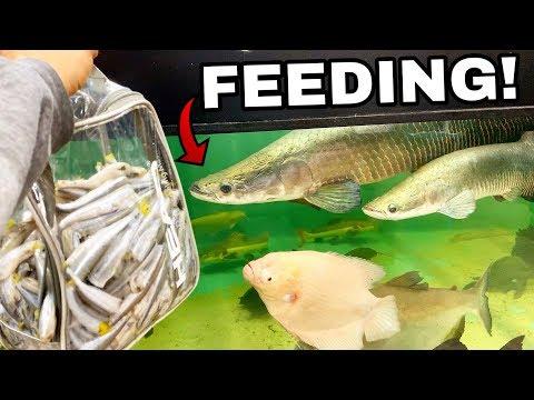 LARGEST INDOOR EXOTIC AQUARIUM FISH DIVE & FEEDING!