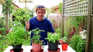 Grow Large Tomato Harvests in Containers