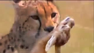 African animals - watch cheetahs hunt for food  - BBC wildlife