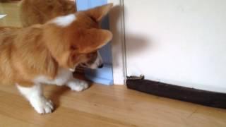 My Corgi Playing With The Doorstop