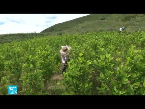 إنتاج الكوكايين في كولومبيا يبلغ مستويات قياسية  - 12:55-2018 / 9 / 20