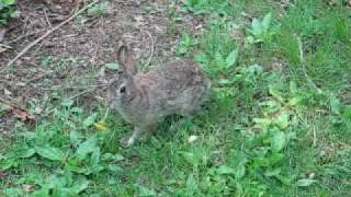 rabbit_eats_dandelion.mpg