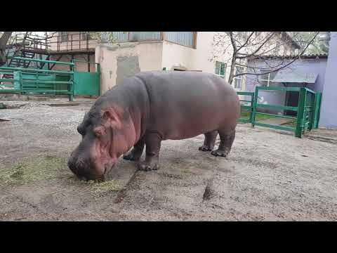 An eating hippopotamus