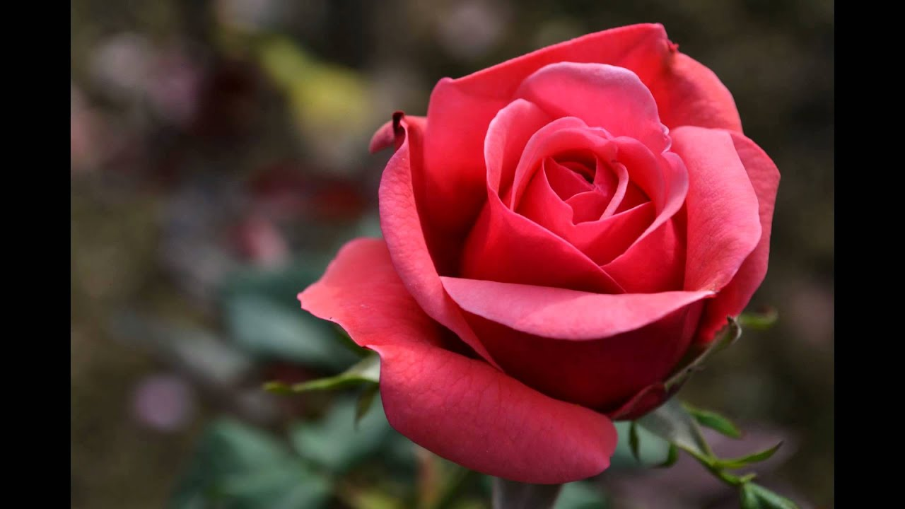 all about roses (full hd) - youtube