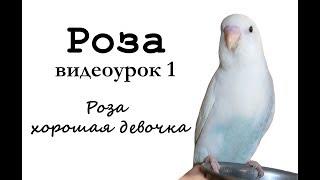 """🎤 Учим попугая по имени Роза говорить, видеоурок 1: """"Роза хорошая девочка"""""""