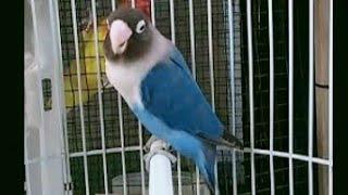 Masteran Lovebird Mangsi Fighter Ngecik Ngompa Ngekek Panjang Versi