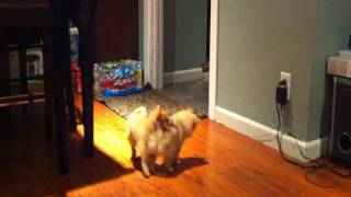 Pomeranian X Chihuahua's Playfighting-shot On The Apple Iphone 4-hd Video