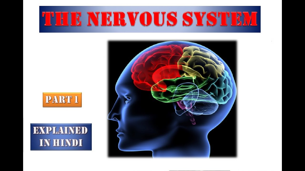Nervous System in Hindi | Part-1 | Anatomy and Physiology ...
