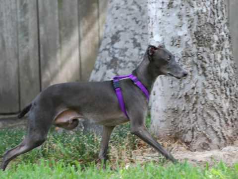 Marshall's adoption video - Italian Greyhound Rescue ...