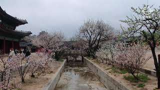 창경궁 야간개장, 완연한 봄 기운 속 고즈넉한 밤이 아…