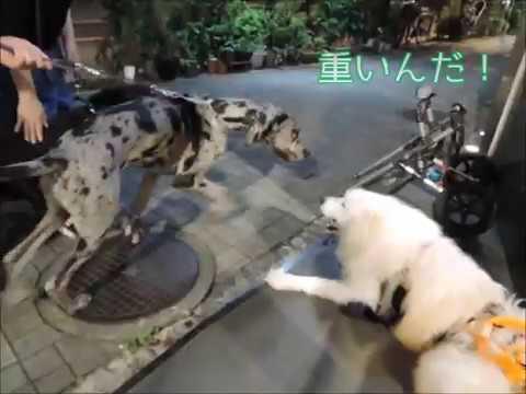 サモエド クローカ 「ボンボン・テンテン・クローカ」 (samoyed kloka)