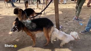 كلب لولوة اتجوز كلبة جيرمن اول مره ف مصر