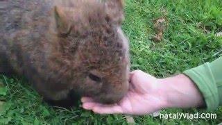 Вомбаты в Австралии на Тасмании - Wombats in Tasmania