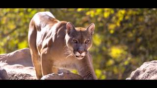 American Puma - the 5th Largest and Strongest Cat in the world.