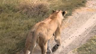 タンザニア セレンゲティ国立公園 ライオン