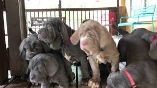 Neapolitan Mastiff puppies at 9.5 weeks || CENTEX MASTINOS || audrafaith || Austin, Texas