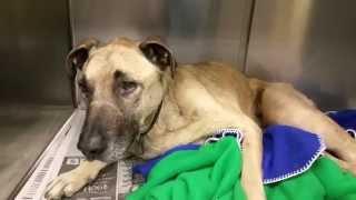 Scrappy 11 Year Male Labrador Retriever