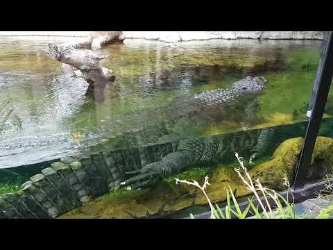 A swiming American alligator