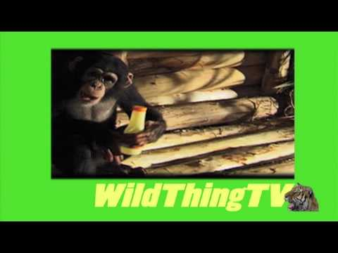 Wild Thing Season 2: Tarzan & The Chimp HD
