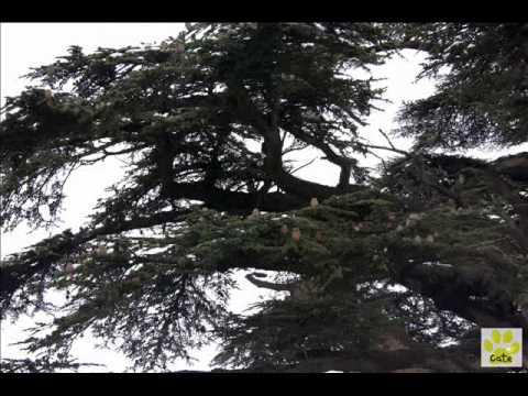 Las Bożych Cedrów (Liban)/ Cedars of God (Lebanon)