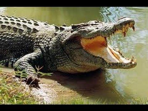 Thế giới động vật | Động vật hoang dã Amazon - cá sấu chúa