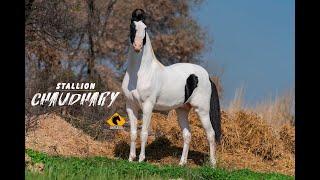 MARWARI HORSE I STALLION ***CHAUDHARY*** I MANN HORSE PHOTOGRAPHY