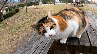 公園のテーブルに三毛猫がいたので座ったら膝の上に乗って寛ぎだした