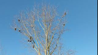Bald Eagles watching Snow Geese