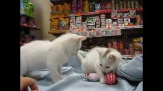 котята Снежок и Снежинка