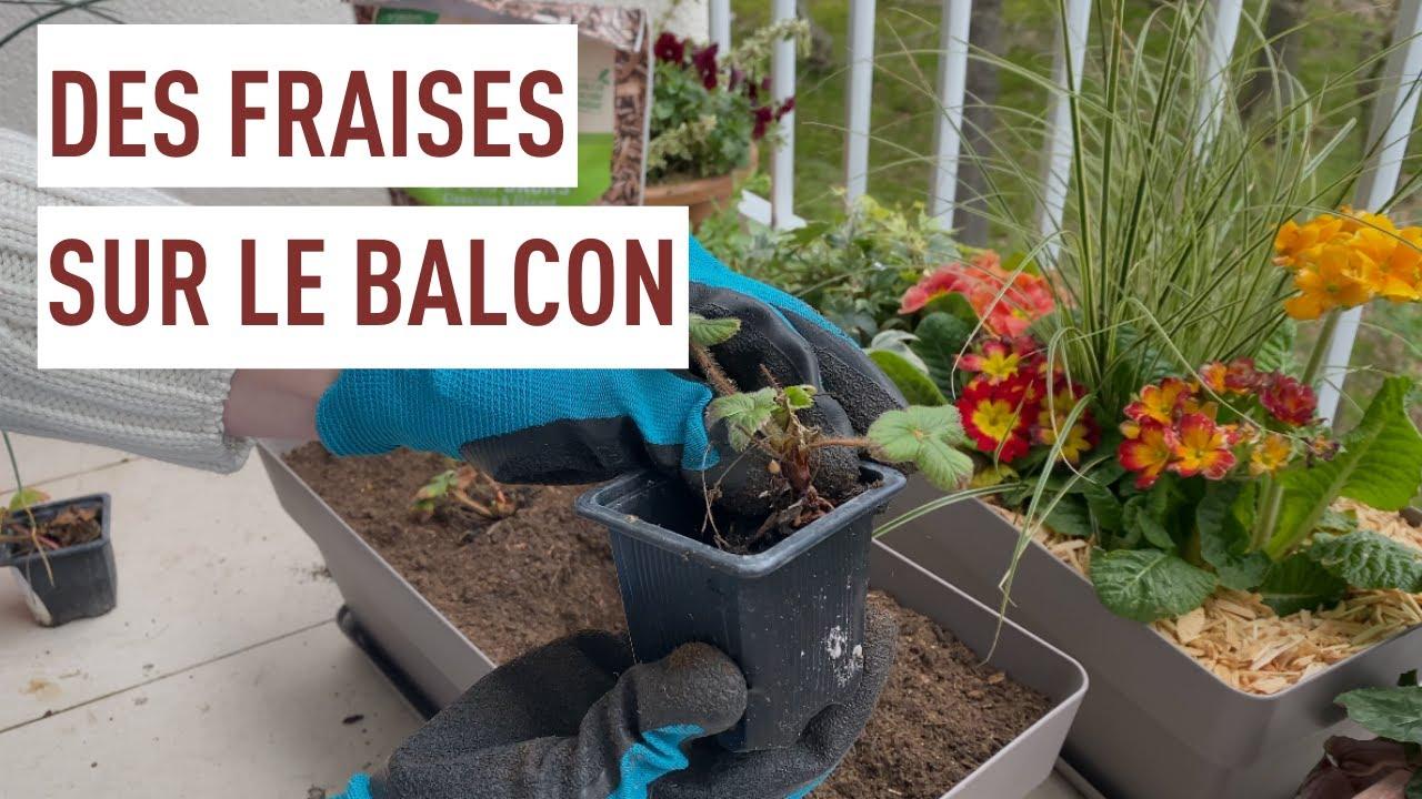 Planter des fraises en pot ! - YouTube