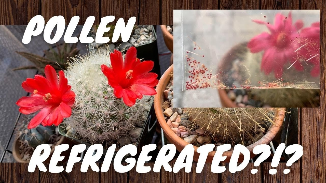 Pollinating Flowers Using Refrigerated Pollen | Hand Pollinate using Stored Pollen | Cactus