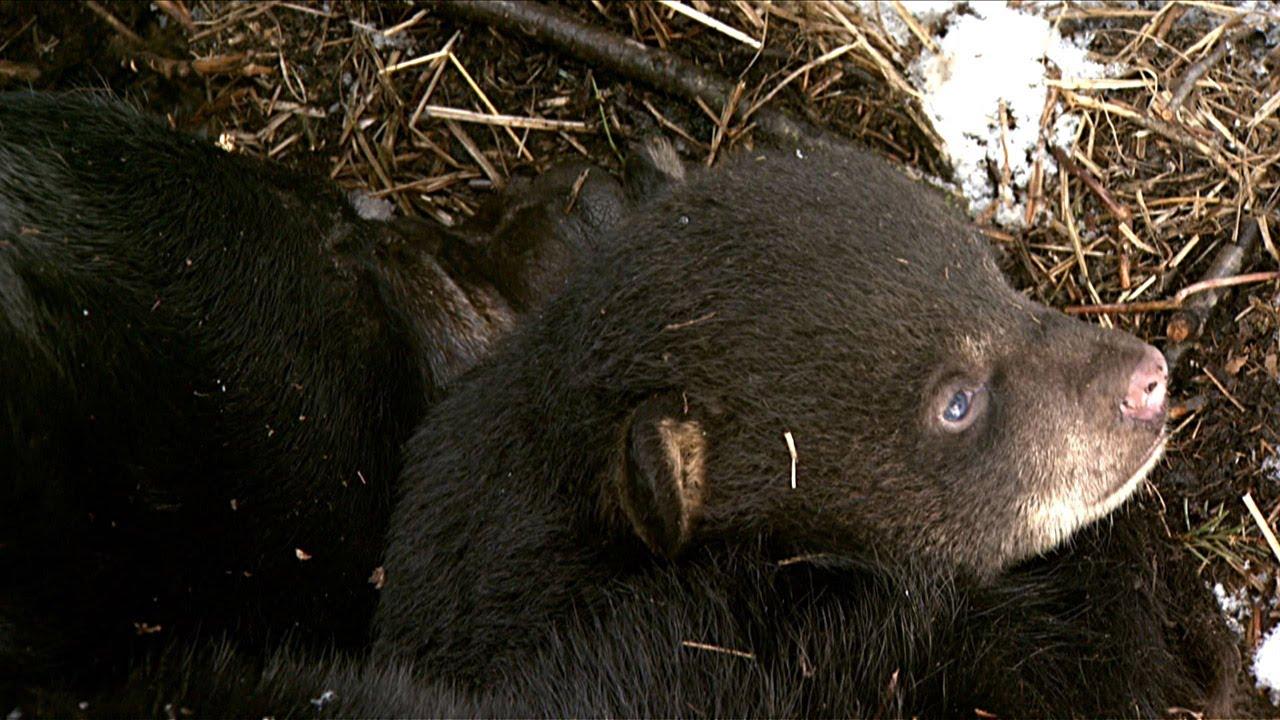 Hibernation: Secrets of the big sleep | Science News for