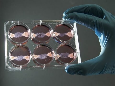 In-Vitro 'Cow' Meat Created in Lab