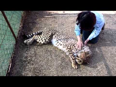 Johannesburg, South Africa - Petting a Cheetah at Rhino & Lion Nature Reserve 2015 July 3