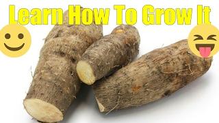 How to grow yam