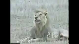Detik azab singa menghadapi sakaratul maut