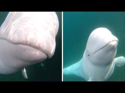 Una beluga le roba la GoPro a un kayakista y luego se sumerge para rescatarla y devolverla