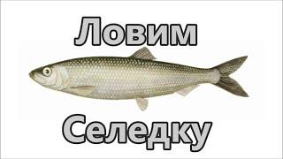 Рыбалка на сельдь и рецепт приготовление блюда из рыбы и её икры.