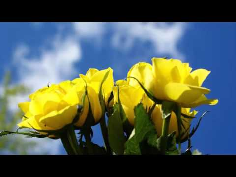 Các loại hoa hồng- MTXQ- Ánh Hikari
