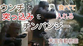 天王寺動物園のチンパンジーです。 3分位に突然、観覧者に突っ込みを入...