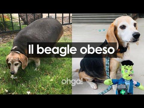 il-beagle-obeso-che-nessuno-voleva-perché-pesava-40kg,-oggi-ha-ritrovato-la-dignità