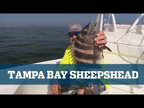 Tampa Bay Sheepshead - Florida Sport Fishing TV