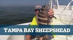 Tampa Bay Sheepshead - Florida Sport Fishing TV