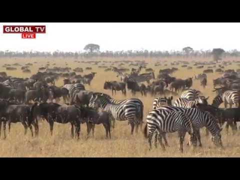 Download Tazama Kipindi cha Kuvutia cha Wanyama, Porini Ukizubaa Umeliwa