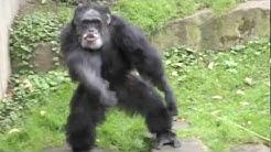Schimpanse Aggression