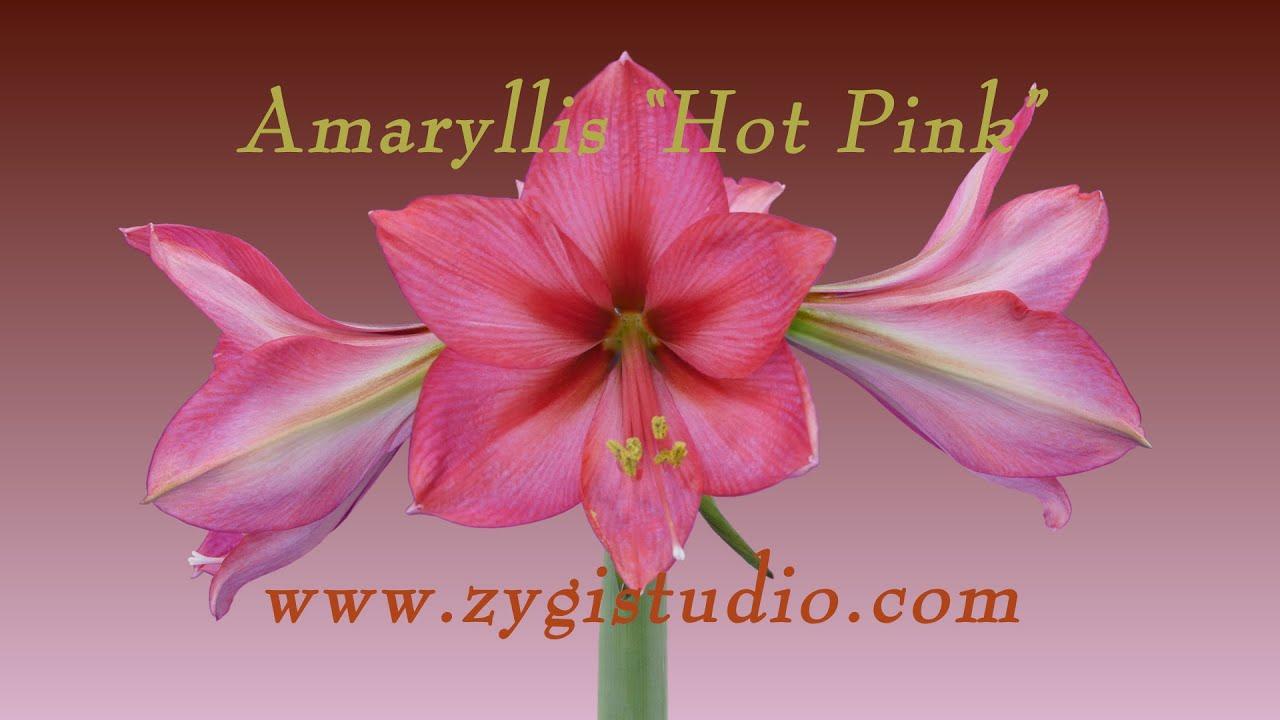 Time Lapse Of Opening Hot Pink Amaryllis Youtube