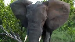 Angry Elephant Charges & Stabs Vehicle While on a LIVE Streaming Safari!!