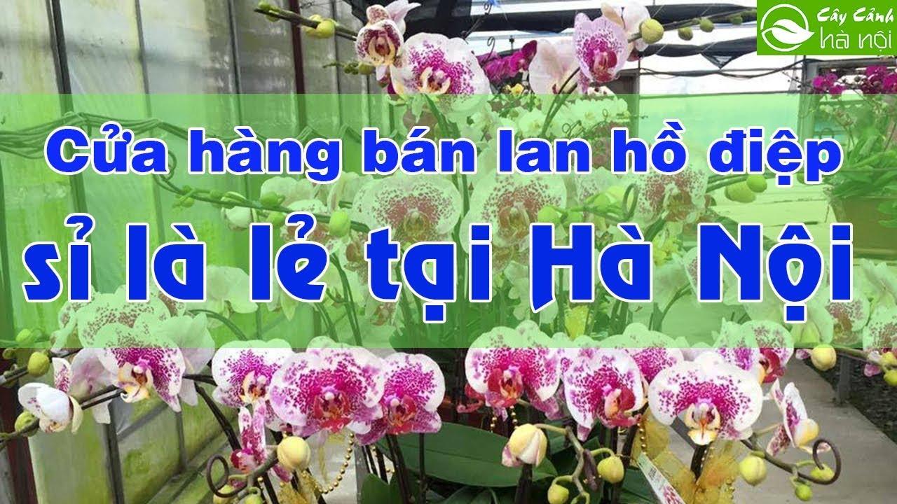 Cửa hàng bán Lan hồ điệp sỉ và lẻ tại Hà Nội
