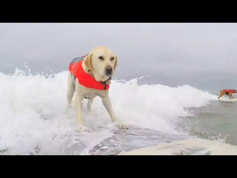 Large Dog Surf Winner - 2016 Purina Pro Plan Incredible Dog Challenge Western Regionals