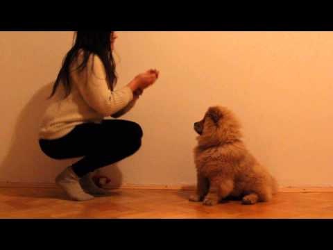 My trained chow chow